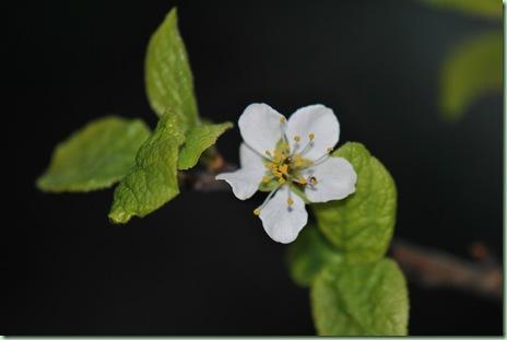 plommonträdet jag aldrig ser blomma..