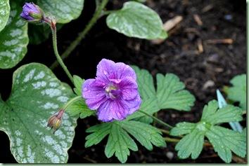 Geranium himalayense ' Plenum'