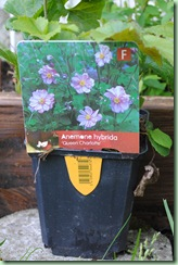 Anemone hybrida ' Queen Charlotte'