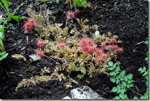 Aceana microphylla 'Kupferteppich'