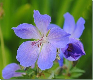 Geranium ' Johnson's Blue'