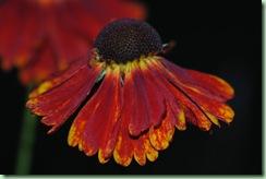 Helenium autumnale 'Redgold'