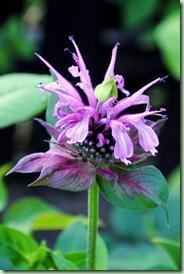 Monarda fistulosa 'Croftway Pink'