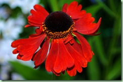 Helenium hybrid ' Moerheim Beauty'