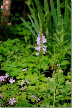 Physostegia virginiana 'Bouquet Rose'