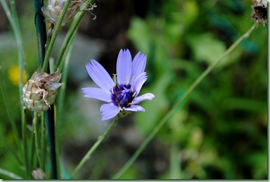 Catananche coerulea 'Major'