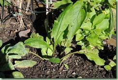 Pulmonaria angustifolia 'Azurea'