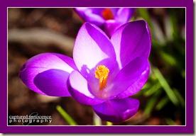 Purple Crocus.jpg