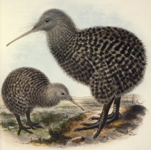 john gerard keulemans, great spotted kiwi