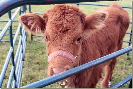 Mundy calf