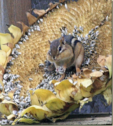 sunflower chipmunk3