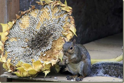 sunflower squirrel5