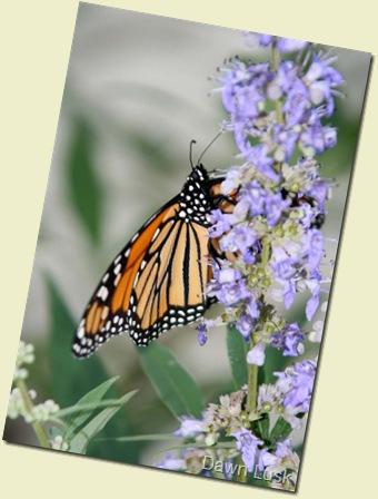 Monarch7 resz