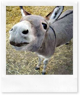 miniature-donkey-0015
