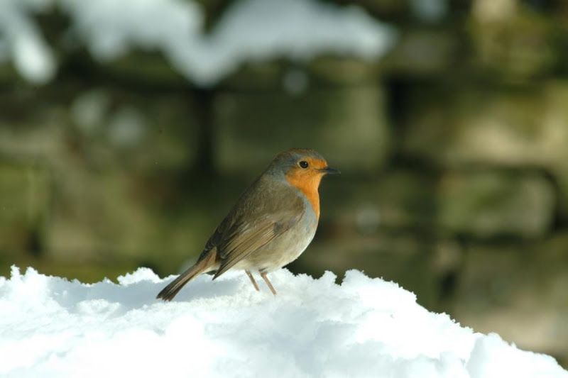 Robin in the Snow by Ian Britton - via http://www.freefoto.com