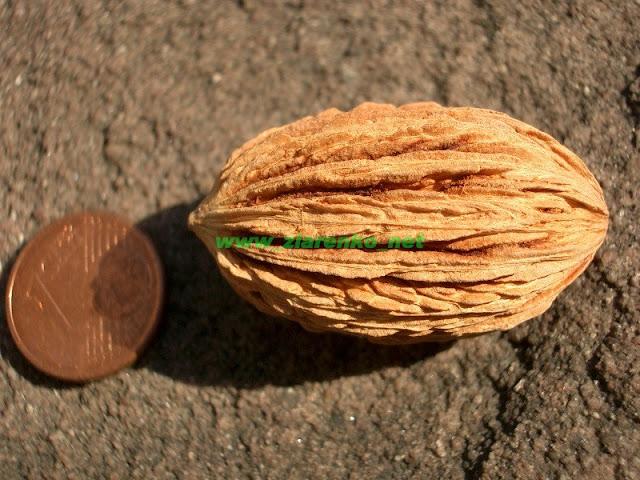 Drzewo chusteczkowe Davidia involucrata