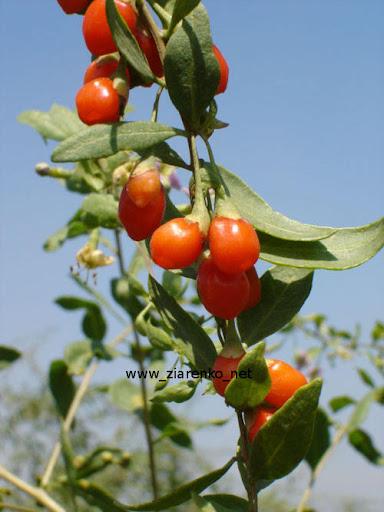 JAGODY GOJI, Kolcowój chiński (Lycium chinense)