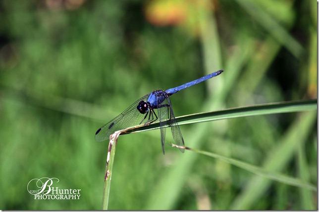 cr-blu dfly