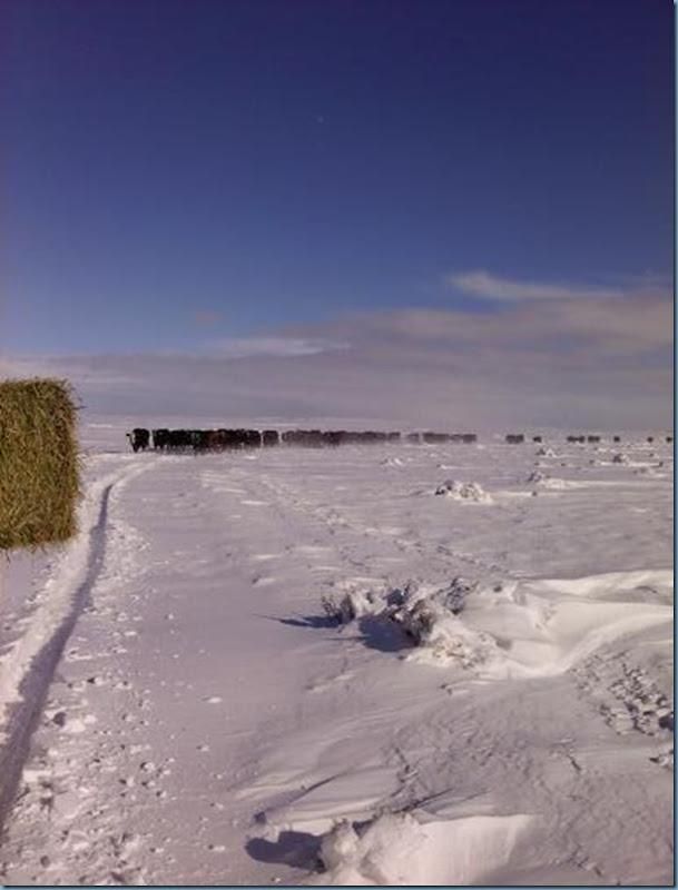 jan snow cows2_edited-1