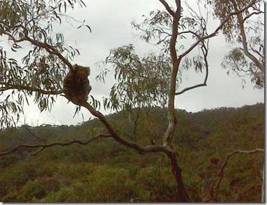 Old Koala