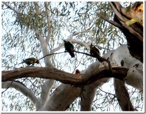 parrots copy