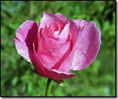 pinkroses02