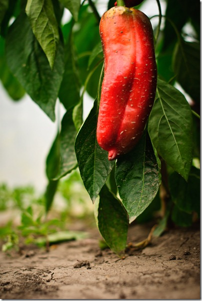 traditions-red-pepper