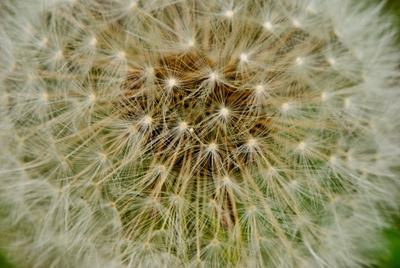 dandelion-white-2