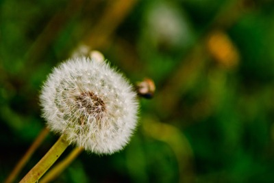dandelion-white-1