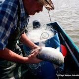 Pêche alose 33.jpg