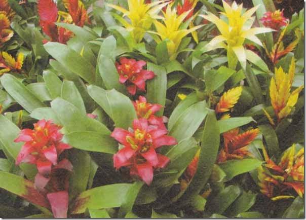 Guzmania pianta fiorita da interno for Pianta fiorita da esterno
