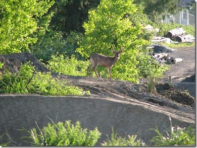 deer in park 221