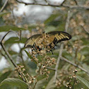 Androgeus Swallowtail