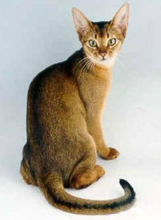 абиссиская кошка