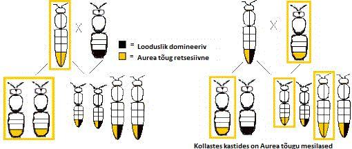 Aurea mesilase geneetika