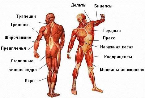 Фото - Анатомия мышц