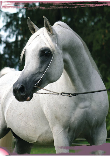 cheval arabe couleur