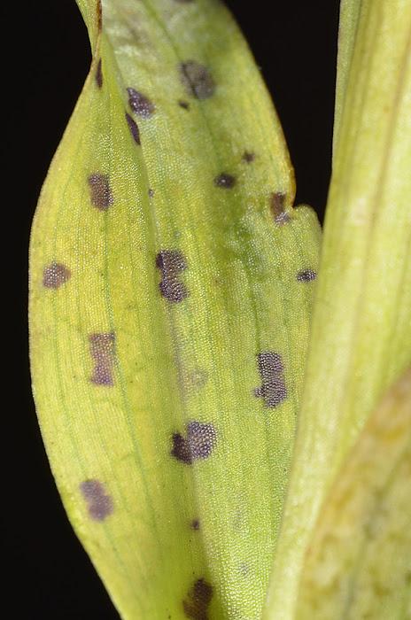 Hoja maculata de Neotinea maculata