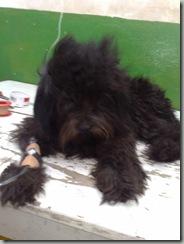 perro_atropellado_blacki (2)