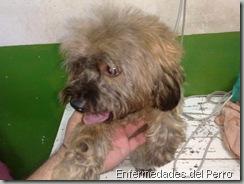 eczema en perros (2)
