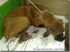 micosis y sarna en perros (2)