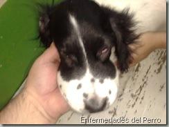 Alergia en perros (1)