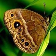 Bicyclus anynana - borboletas africanas