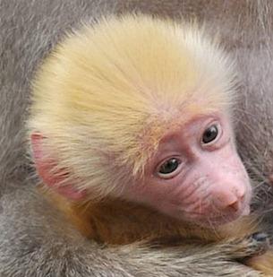 Filhote de babuíno nasceu ruivo