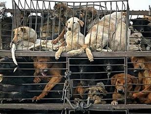 Cães capturados na periferia de Pequim seguem engaiolados para abastecer açougues e restaurantes. Crédito: Reprodução / Telegraph