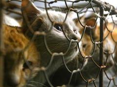Associação de Proteção de Pequenos Animais da China salva gatos que teriam a carne e pelo comercializados. Crédito: Reprodução / guardian.co.uk