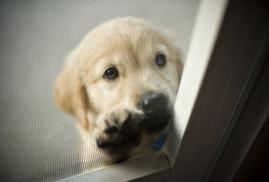 adoção-de-cães