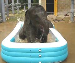 filhotes de elefante em piscina