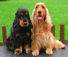 cocker_spaniel_ingles