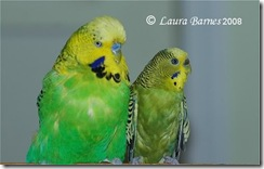 english next to american budgie
